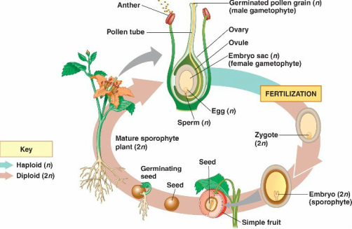 Gymnosperms & Angiosperms - Evolution